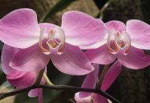 Indonesia Flower Of Charm - Moth Orchid