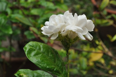 Indonesia FNational Flower - Jasminum Sambac